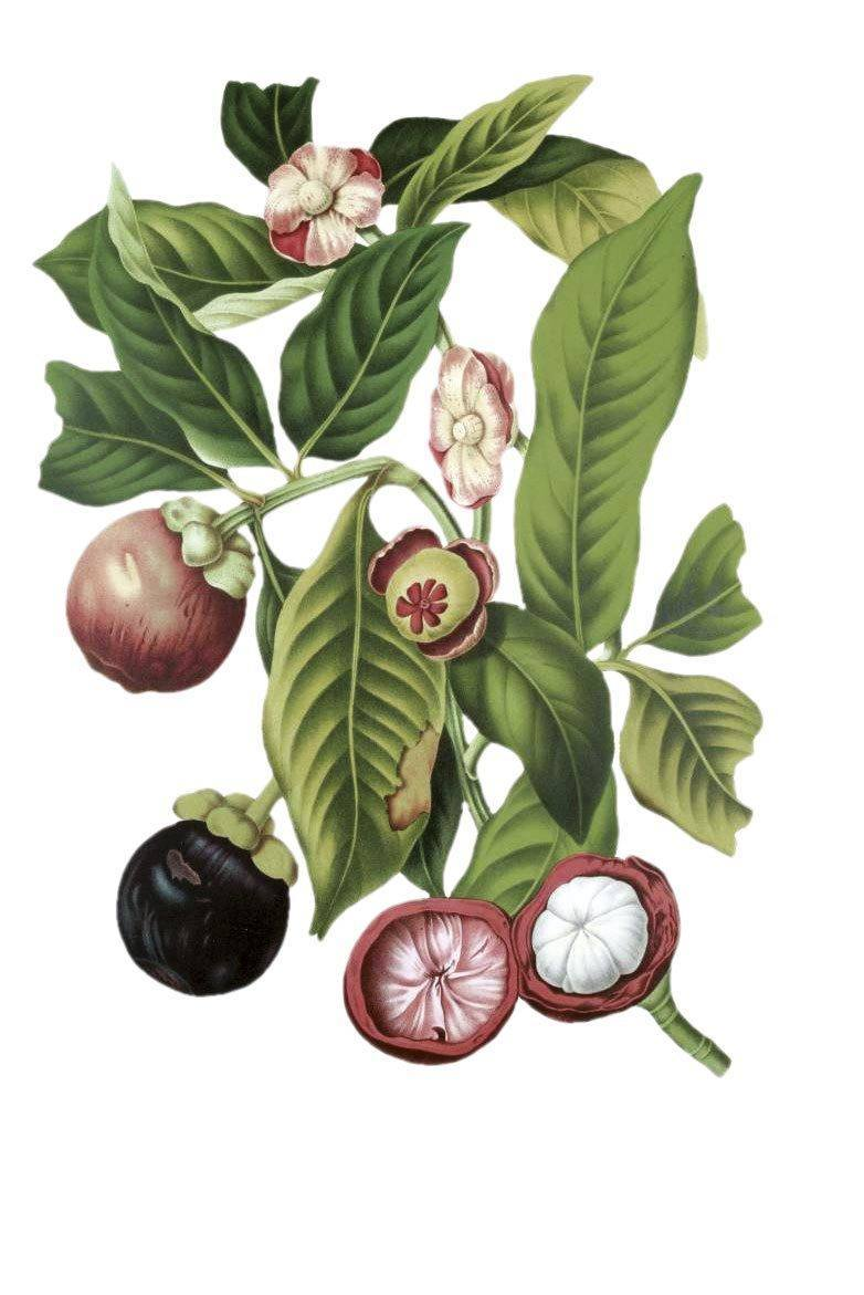 Le mangoustan