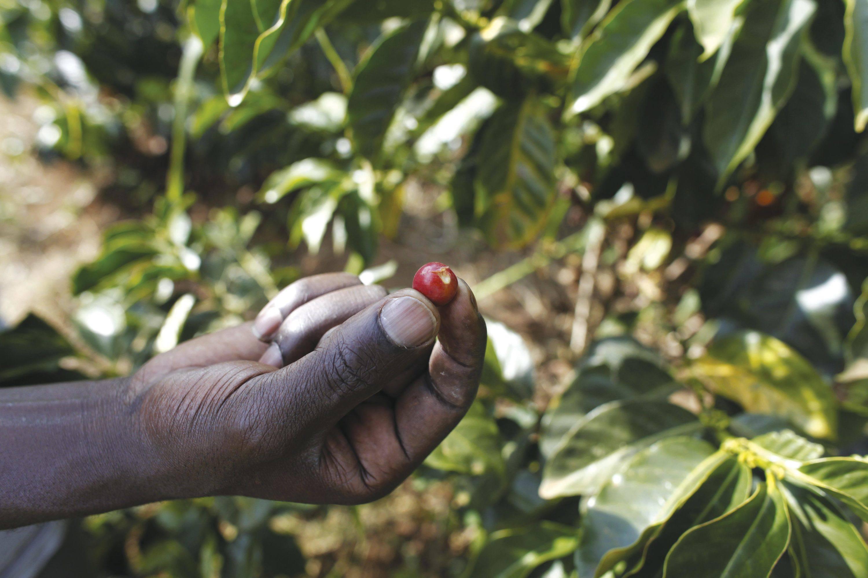 Plantation de caféfinancée par un microcrédit