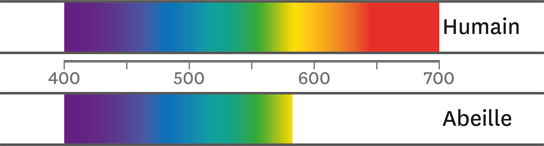 Gammes de fréquence des signaux lumineux visibles pour les hommes et ceux perçus par les abeilles.