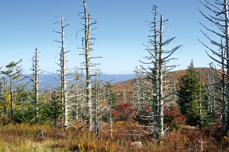 Un dépérissement forestier dû aux pluies acides.