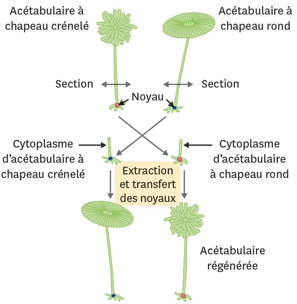 Des expériences sur une algue unicellulaire.