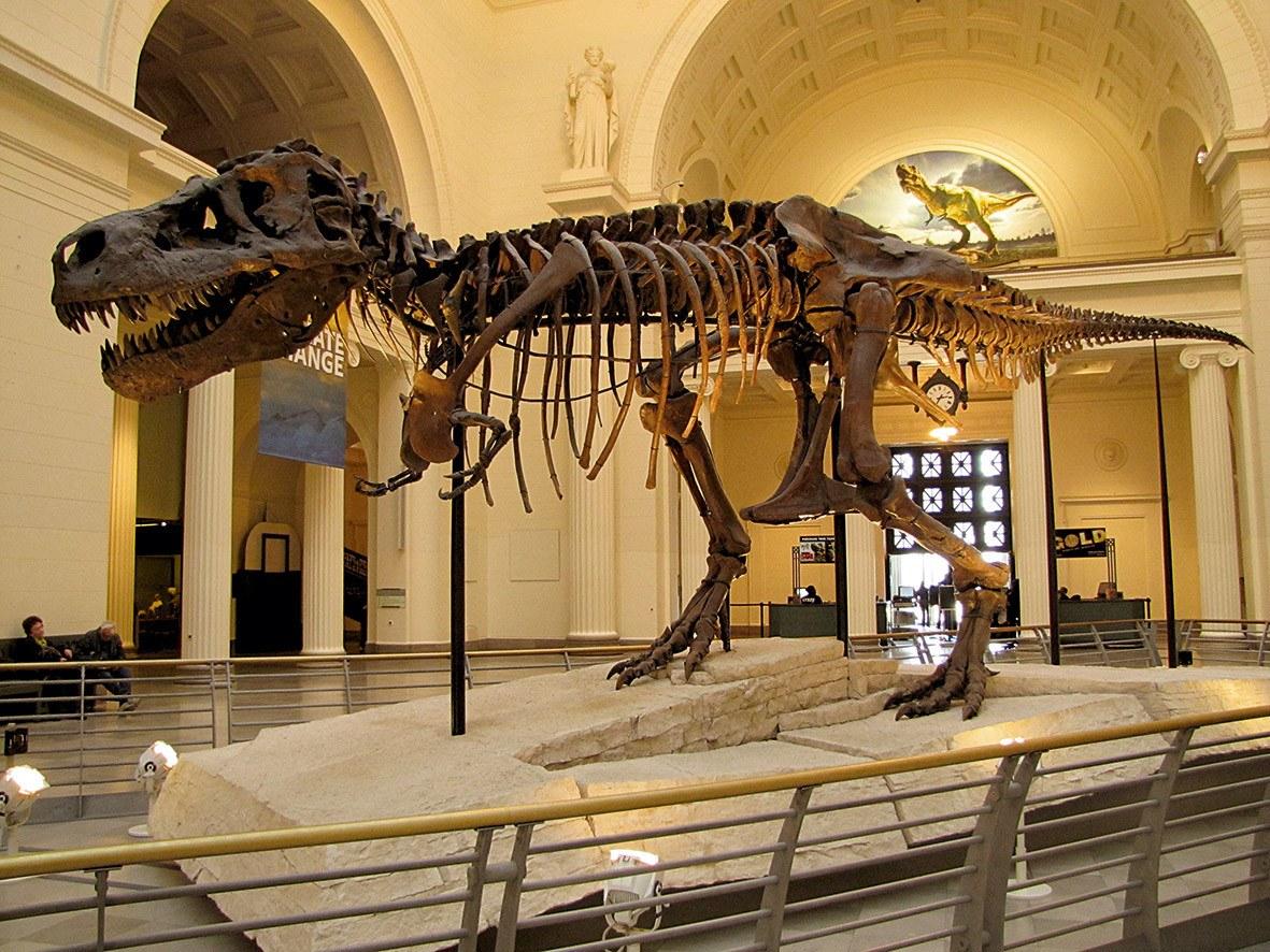 Un fossile reconstitué de T-rex.
