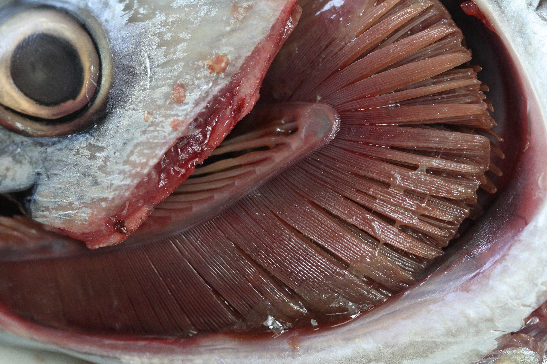 Une dissection de branchies de poisson.
