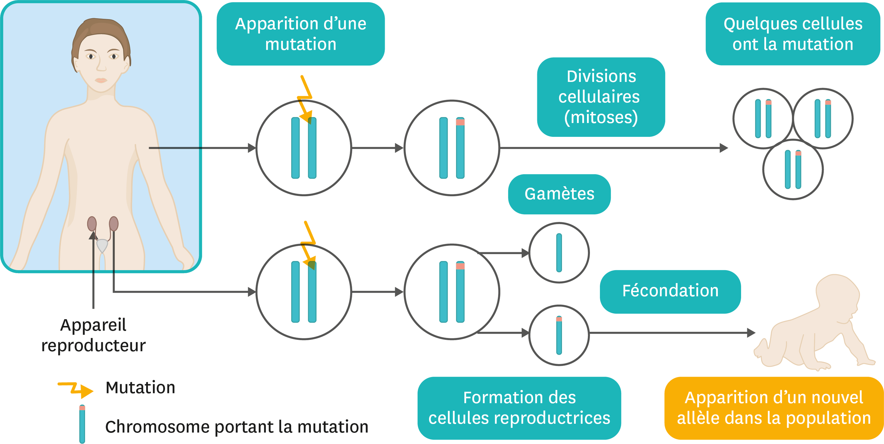Le devenir des mutations.