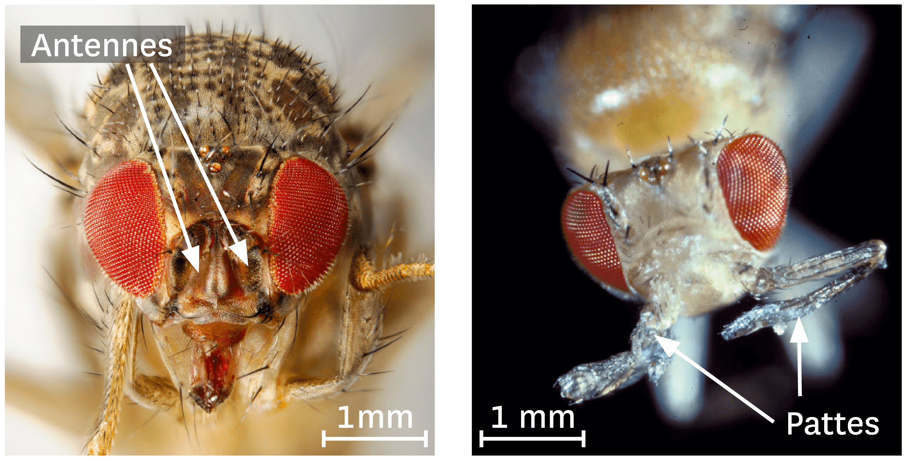 Observation au microscope optique à balayage d'une drosophile normale et d'une drosophile portant l'allèle mutant du gène Antennapedia.