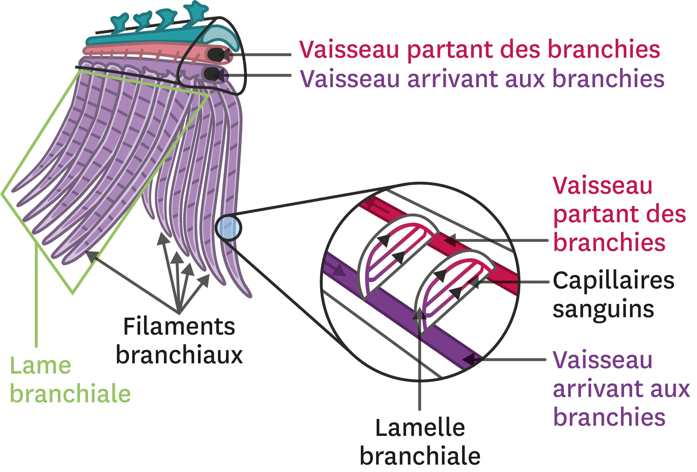 Un exemple d'une grande surface d'échange : les branchies.