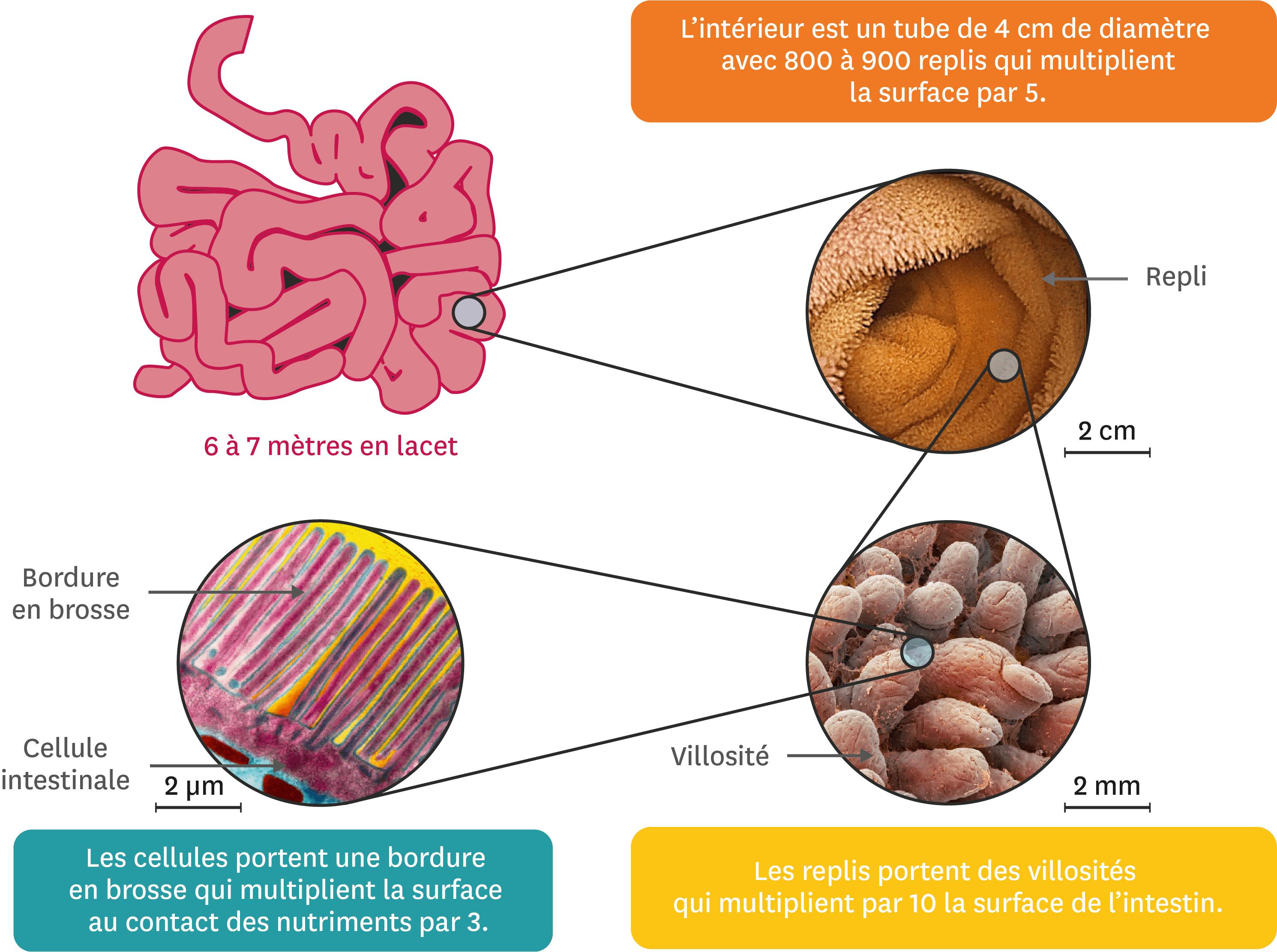 L'intestin, une surface d'échange.