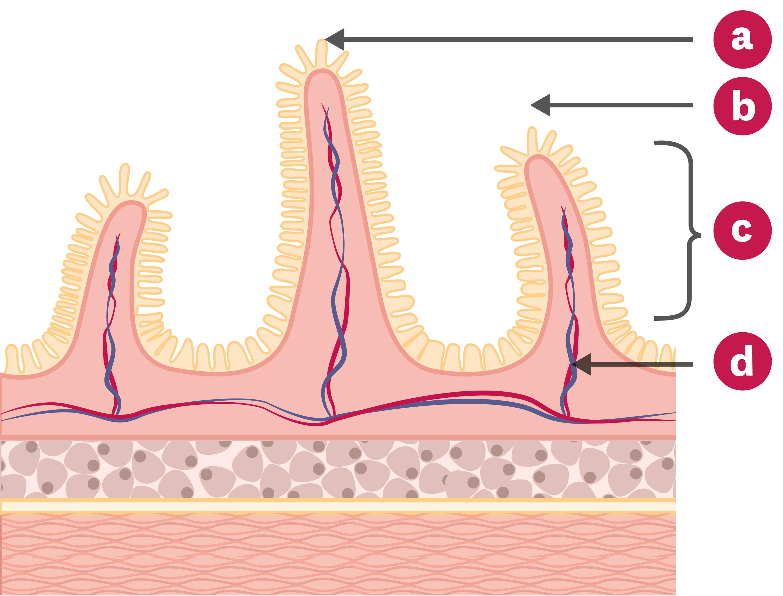 Schéma d'une coupe transversale de l'intestin grêle.