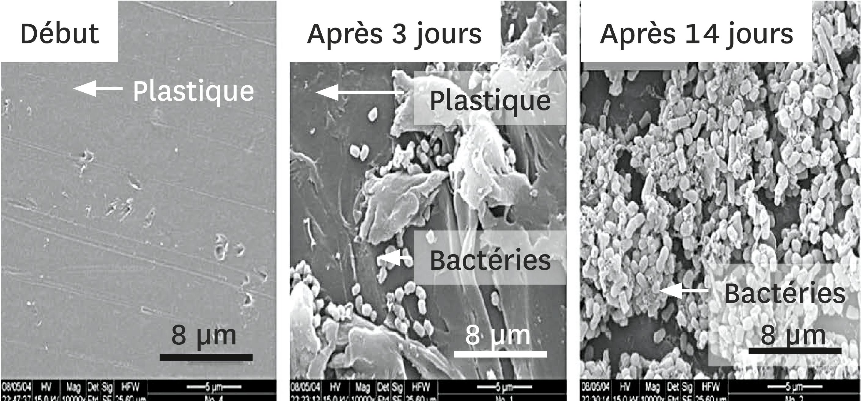 Le développement de la bactérie Rhodococcus ruber sur la surface du plastique, observé au microscope électronique à balayage.
