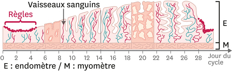 L'évolution de la muqueuse utérine au cours du cycle féminin.