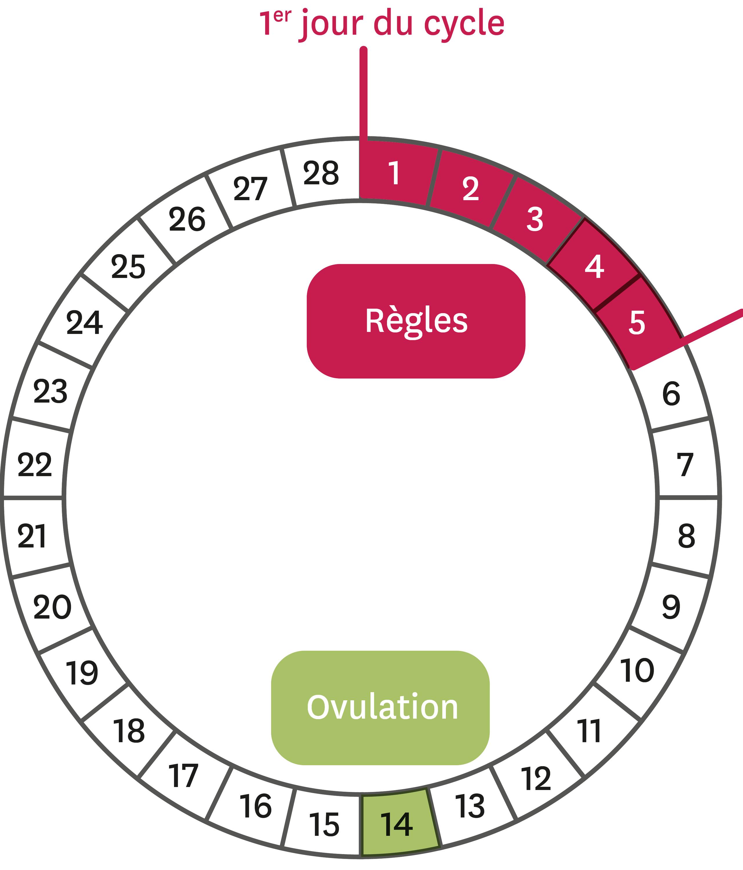 Le cycle féminin théorique.