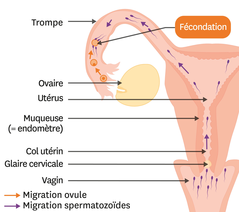 Le trajet des cellules reproductrices jusqu'au lieu de la fécondation.