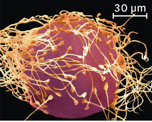 où se fait la rencontre des cellules reproductrices