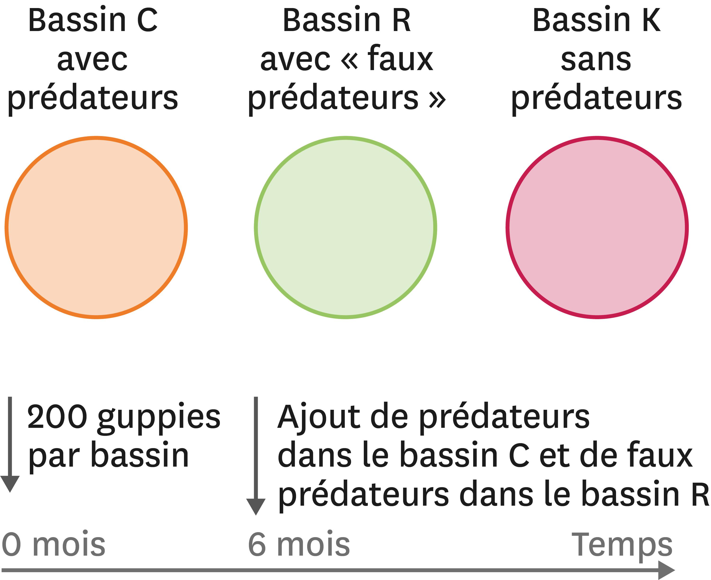 Une expérience avec des bassins artificiels pour tester l'effet de la prédation sur les couleurs des guppies mâles.