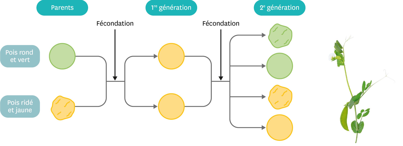 L'expérience de croisement réalisée par Gregor Mendel sur les formes et les couleurs des pois.