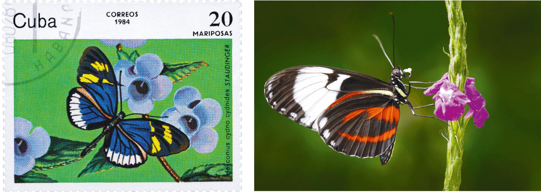 Un timbre et un individu de l'espèce Heliconius cydno.