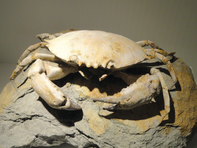 Un exemple de fossiles de crabe.