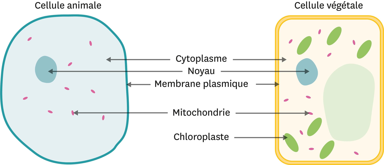 Comparaison entre une cellule animale et une cellule végétale.