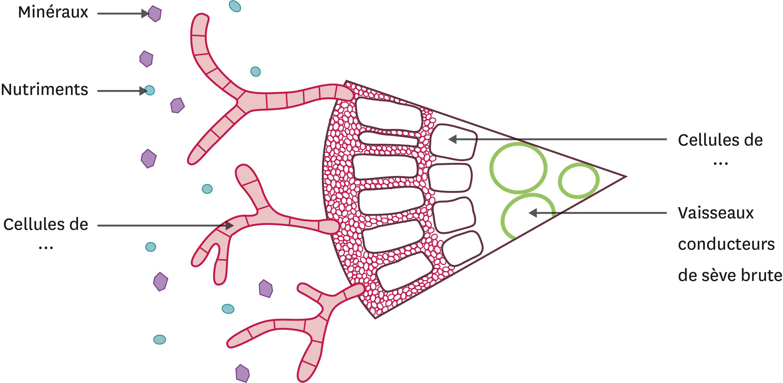 Schéma bilan de l'interaction entre le champignon et la racine de pin.