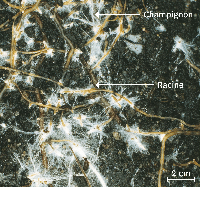 Coupe transversale d'une racine de pin mycorhizée.