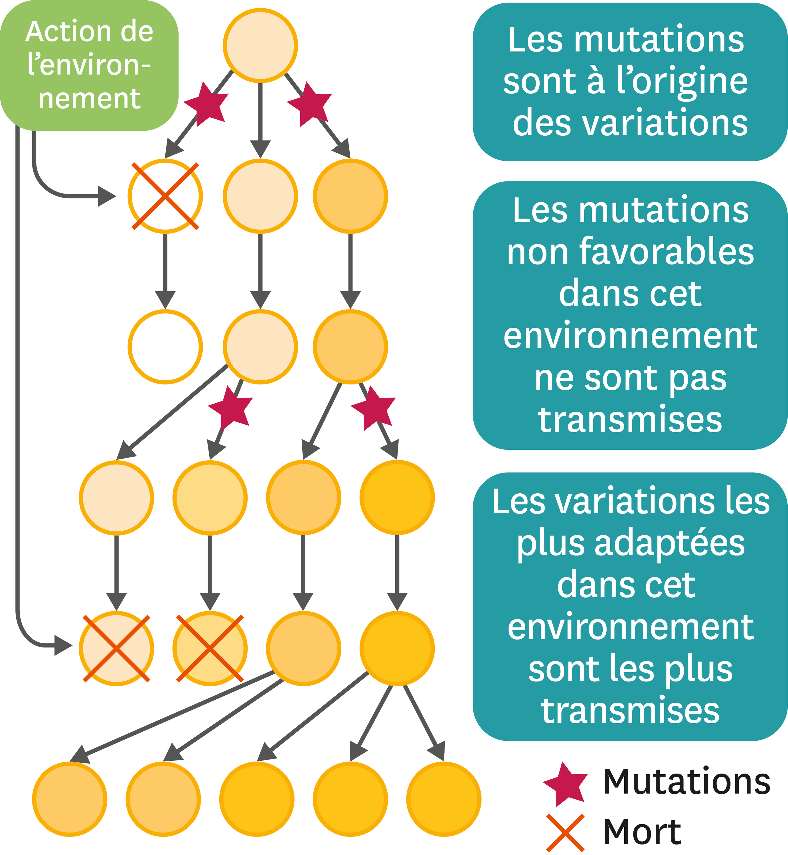 Le modèle de la sélection naturelle.