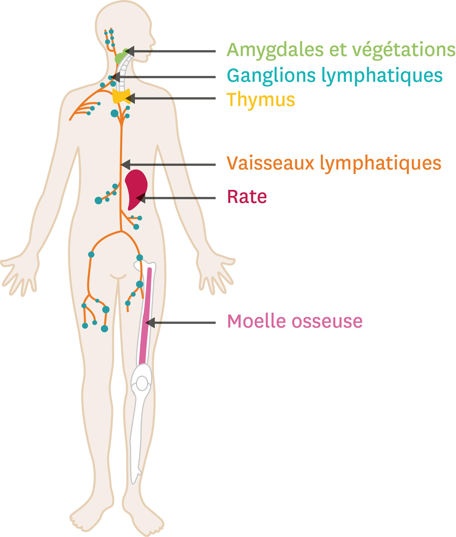 La localisation des organes du système immunitaire.