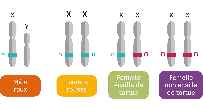 Les chromosomes et allèles du gène O selon le pelage du chat.