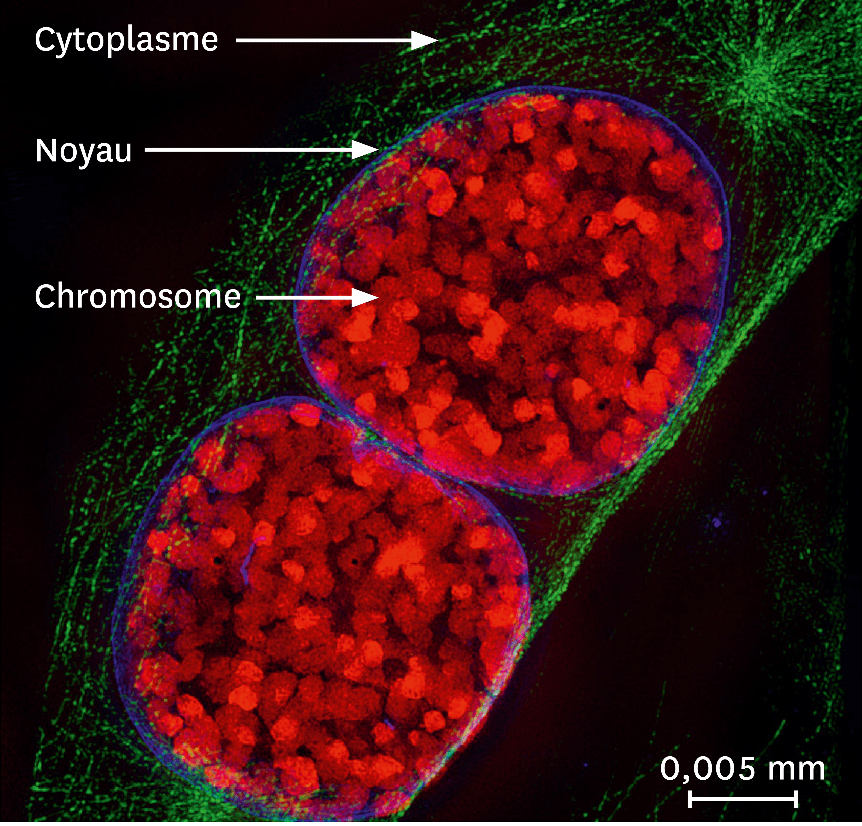 Une observation par microscopie à fluorescence de noyaux de souris.