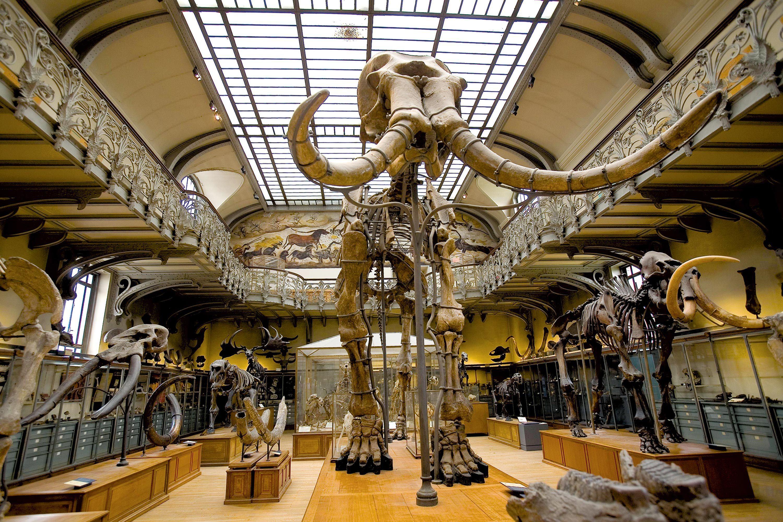 Un squelette de mammouth au Muséum d'histoire naturelle à Paris.