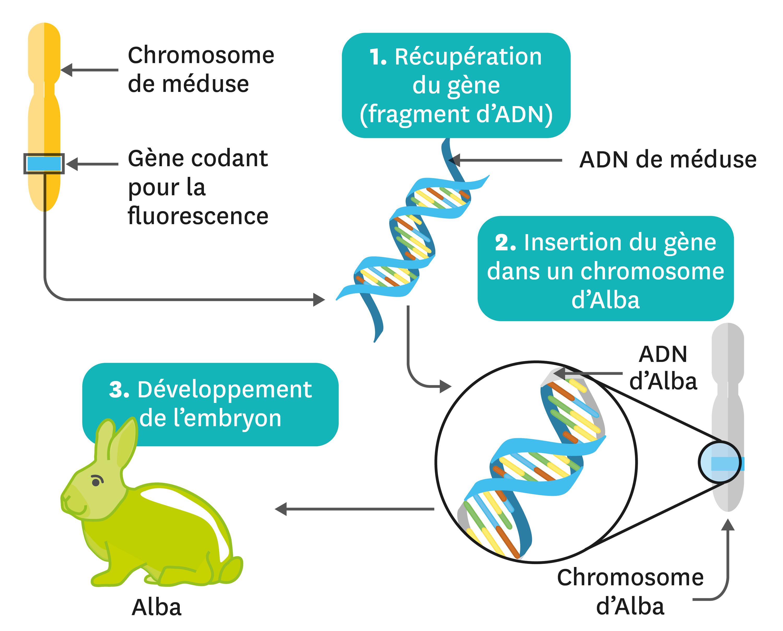 Principe de la transgenèse permettant d'obtenir Alba.
