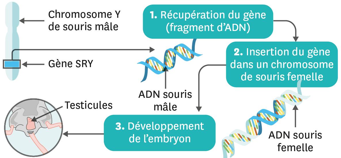 Expérience de transgenèse avec le gène SRY.
