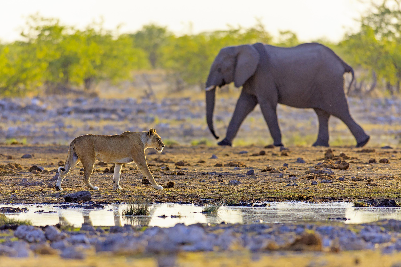 Lionne et éléphant, en Namibie.