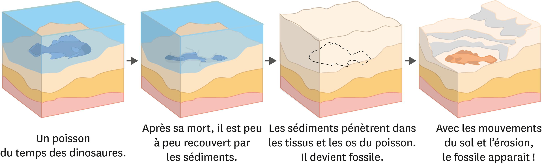 Les étapes de la formation d'un fossile.
