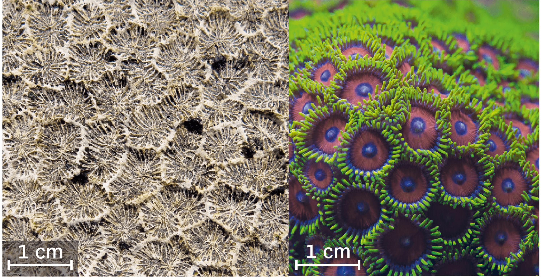 Un corail fossilisé et actuel.