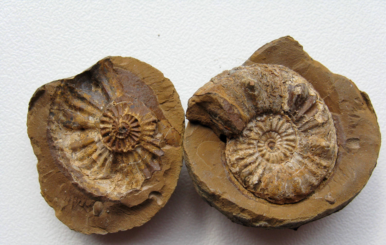 Un fossile d'ammonite.