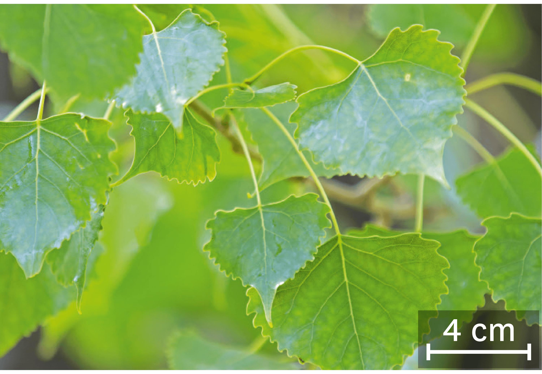 Des feuilles de peupliers.