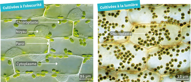 Des cellules de feuille d'élodée observées au microscope optique.
