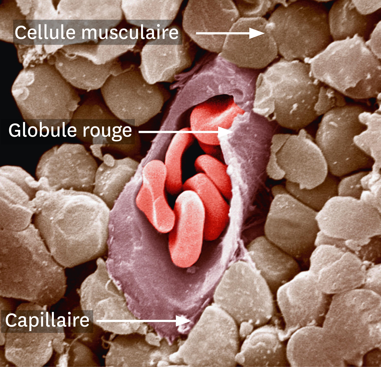 Une observation au microscope électronique à balayage d'un capillaire sanguin coupé au niveau d'un muscle.