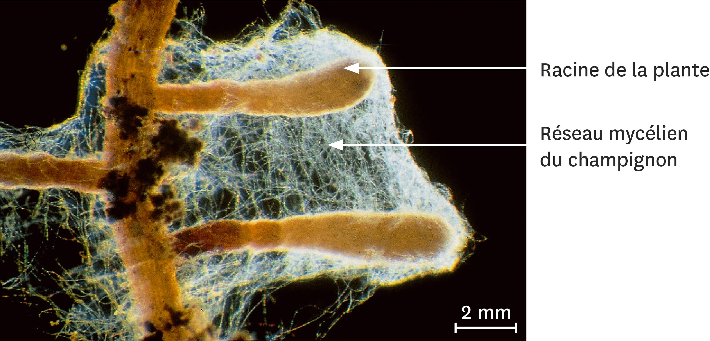 Observation d'une mycorhize.