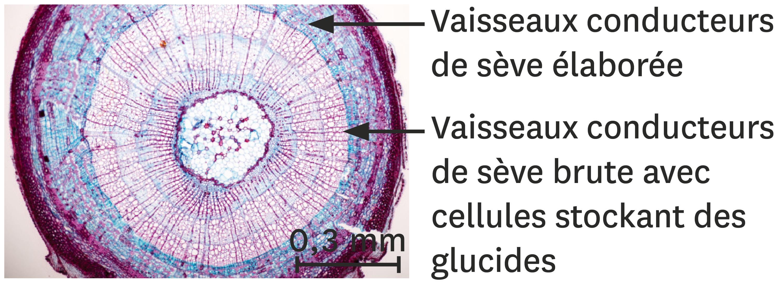 La localisation des réserves de glucides dans un tronc d'érable.