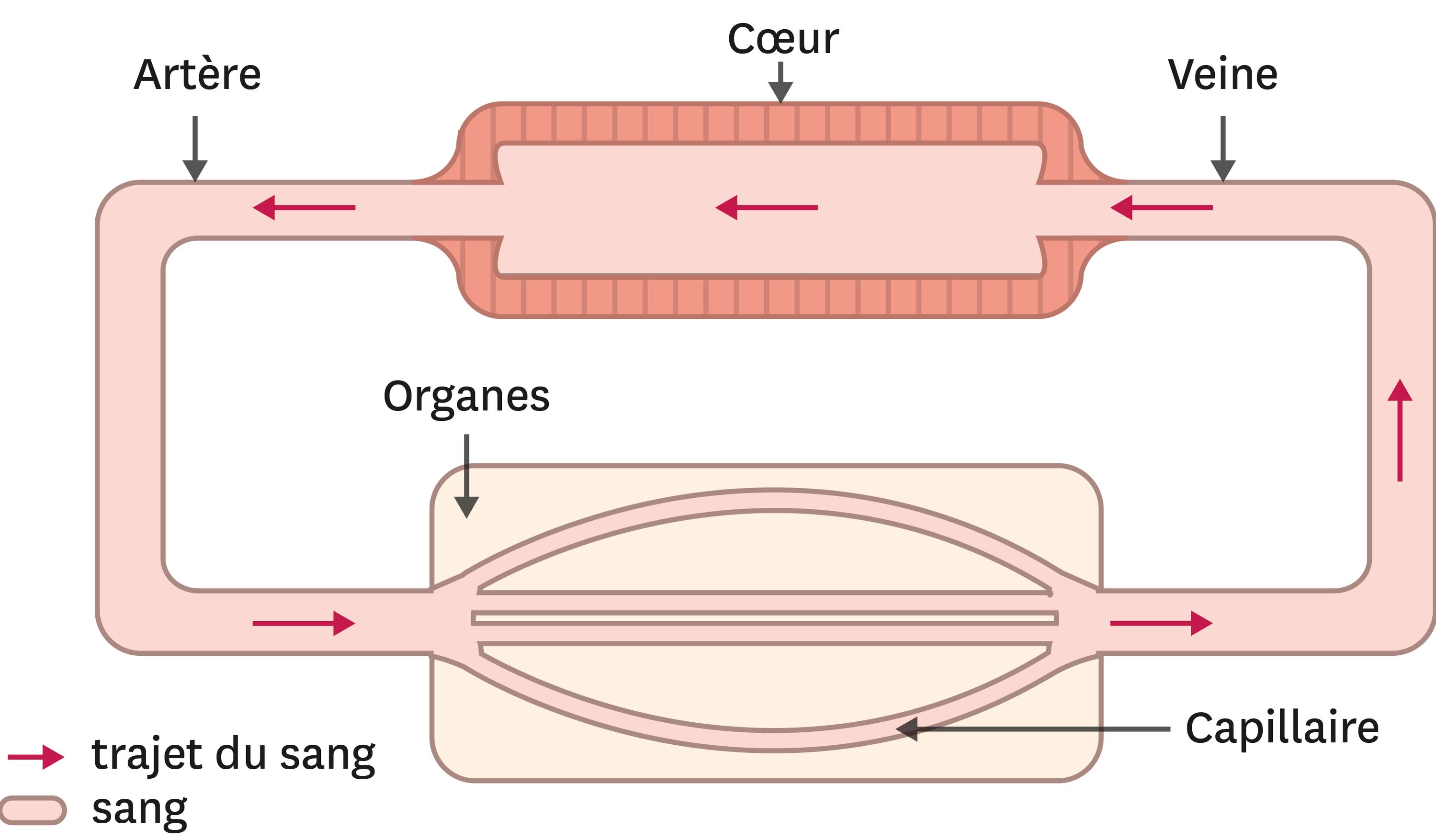 L'appareil circulatoire simplifié d'un organisme vertébré comme la grenouille.
