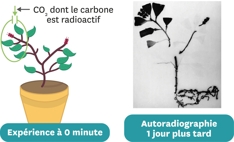 Une manipulation permettant de suivre le devenir du dioxyde de carbone absorbé.