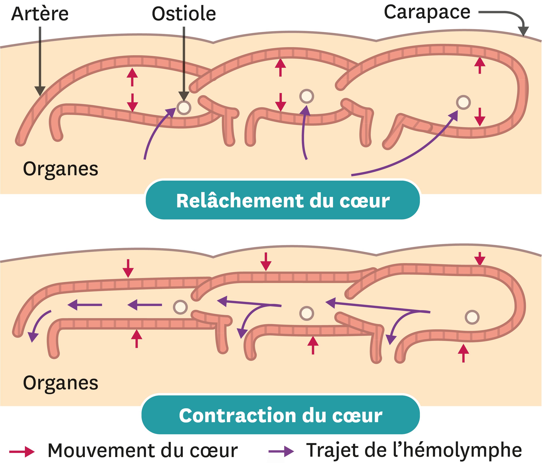 La mise en circulation de l'hémolymphe chez les insectes et crustacés.
