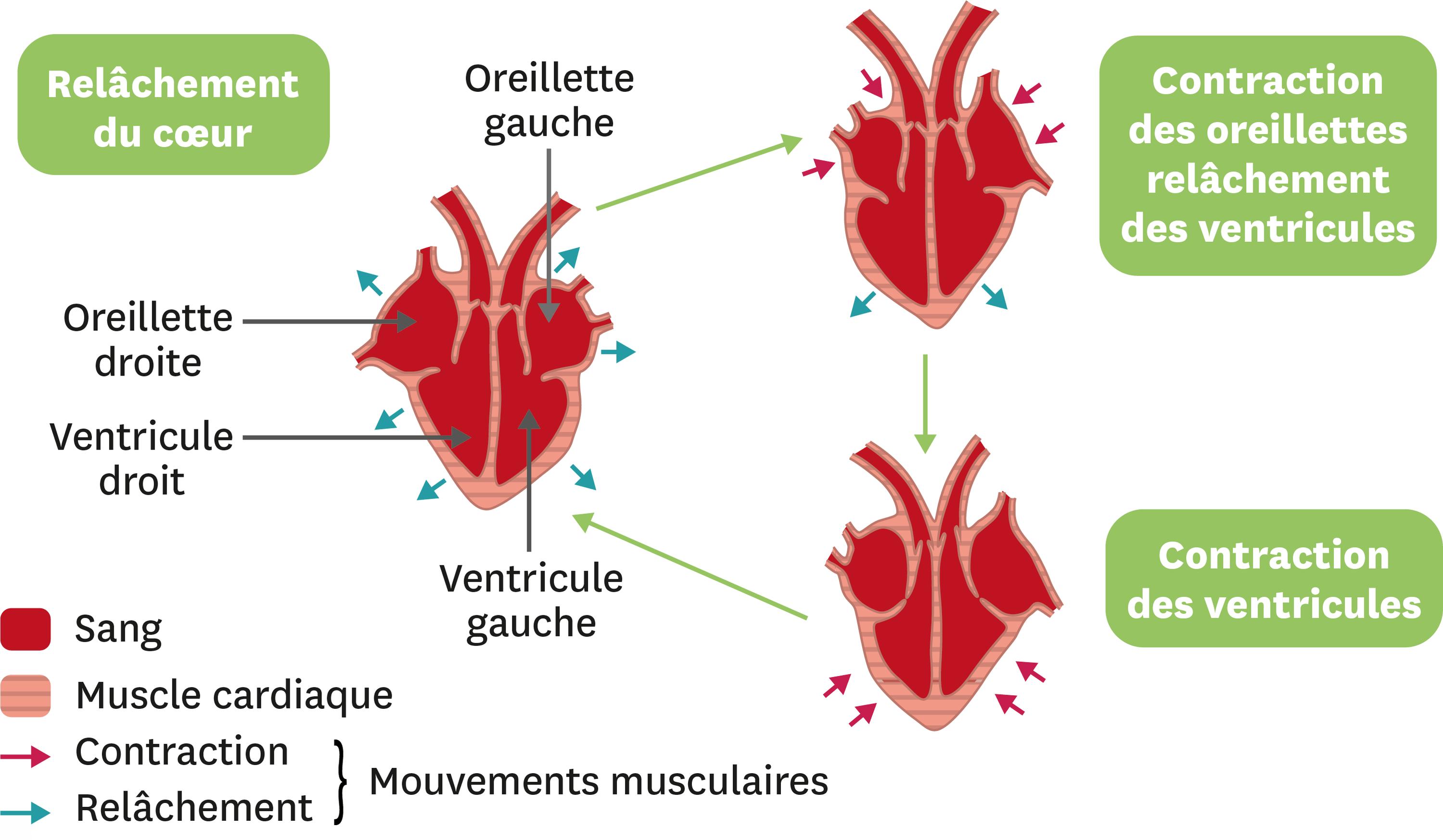 La circulation du sang dans le coeur humain.