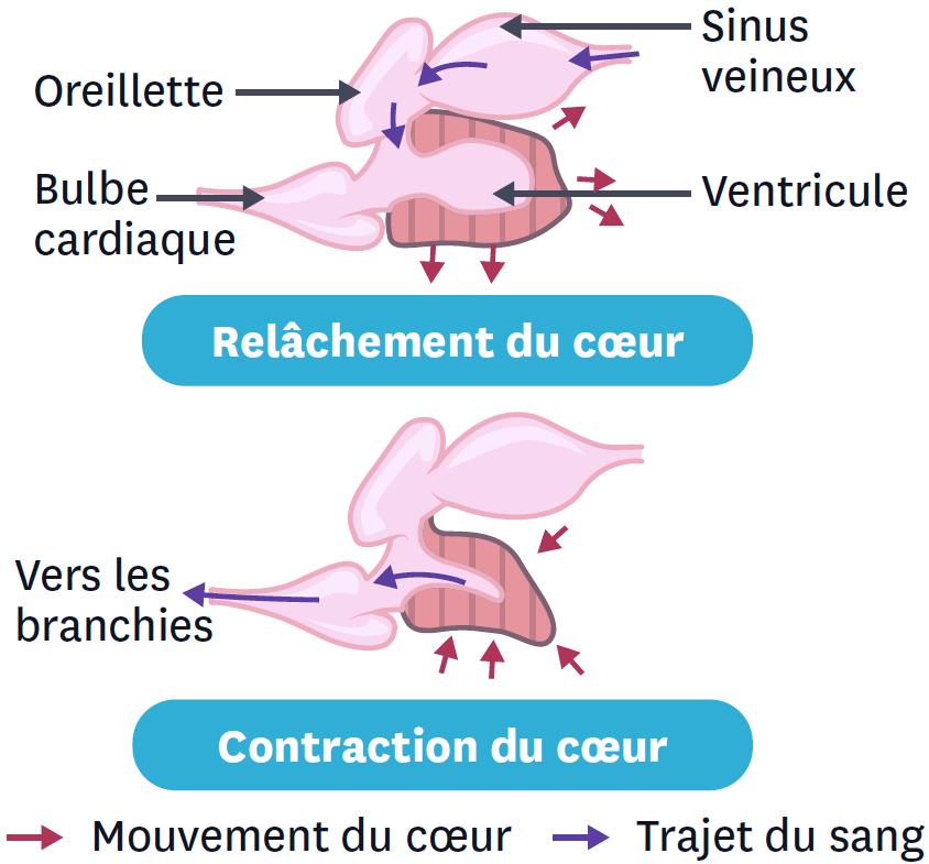 Les mouvements du cœur du poisson.