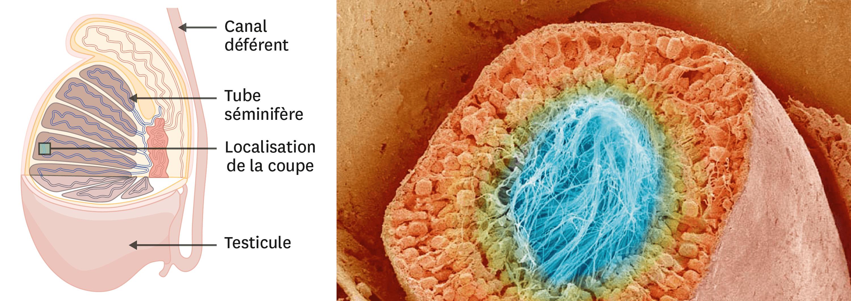 Une coupe transversale de tube séminifère observée au microscope électronique à balayage (image colorisée).