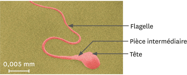 Un spermatozoïde observé au microscope électronique à balayage (image colorisée).