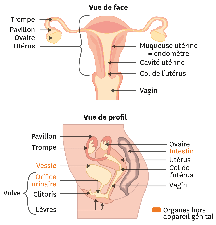 L'organisation de l'appareil génital féminin.