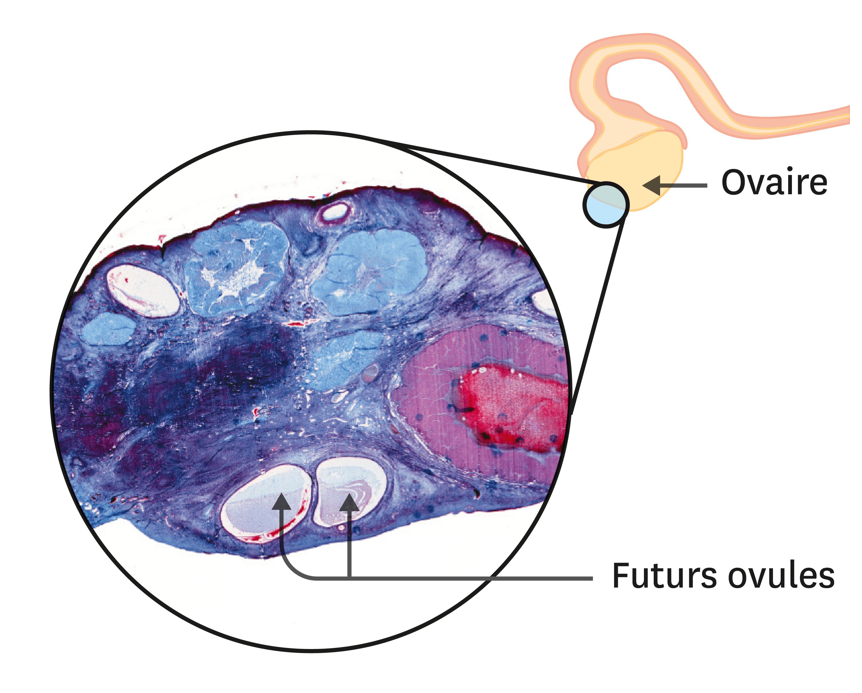 Une observation de coupe d'ovaire au microscope optique (1 cm = 1 mm).