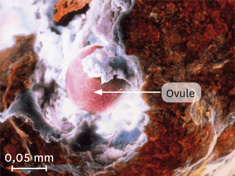 Une ovulation observée au microscope électronique à balayage (image colorisée).